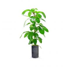 관엽식물-대엽홍콩-102