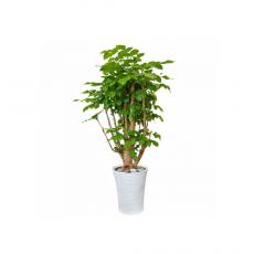 관엽식물-해피트리-55