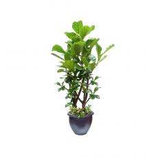 관엽식물-떡갈고무나무-56