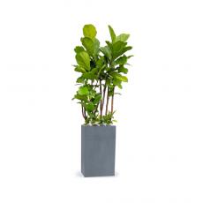 관엽식물-떡갈고무나무-57