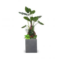관엽식물-알로카시아-76