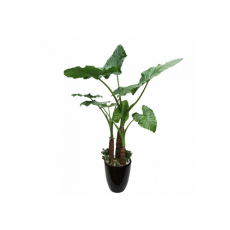 관엽식물-알로카시아-77