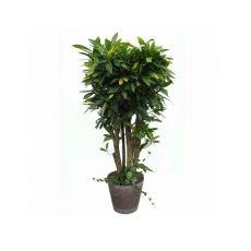 관엽식물-크로톤-78