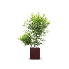 관엽식물-청목-80