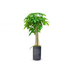 관엽식물-파키라-85